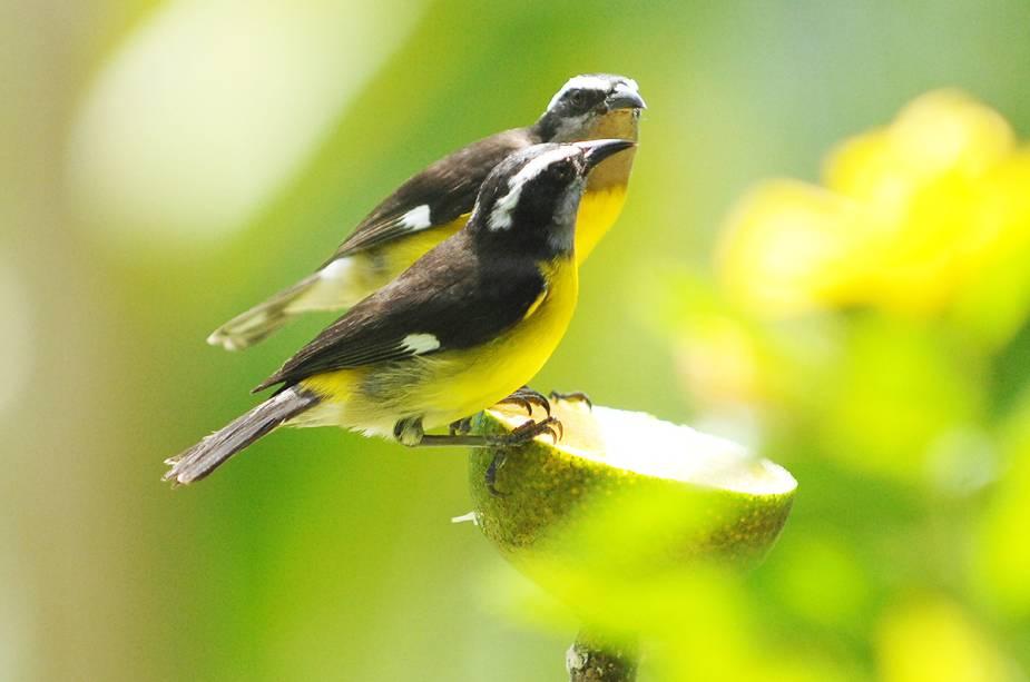 Com 220 espécies de pássaros, Tobago também é um destino popular para <em><noscript><img data- src=