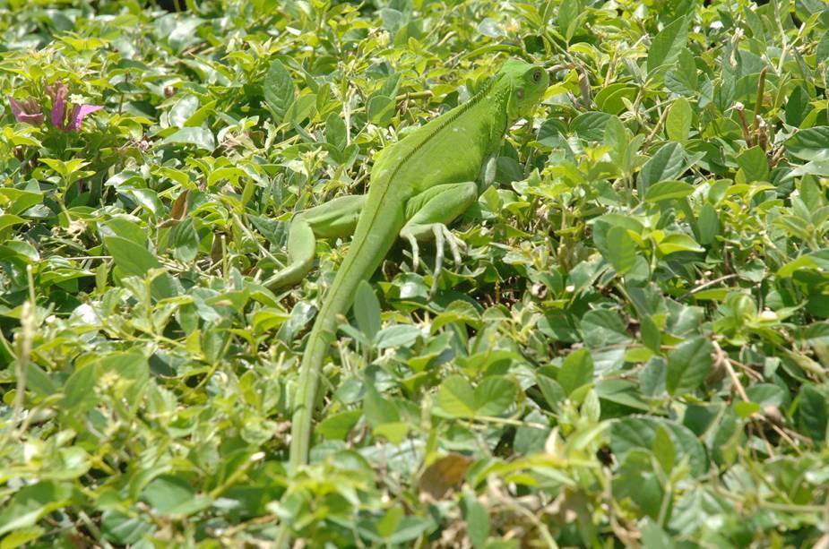 A iguana verde também é um símbolo de Tobago.  É comum vê-los por toda a ilha, verdes ou camuflados.