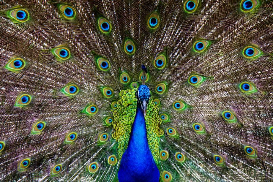 Pavão nos jardins de Ardastra e no zoológico - uma das atrações da capital caribenha