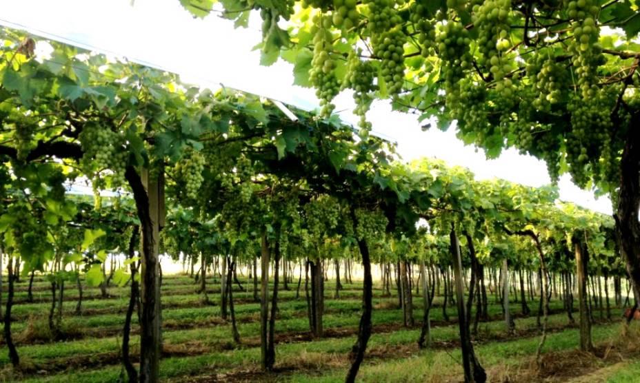 Vinhas da vinícola Zanrosso
