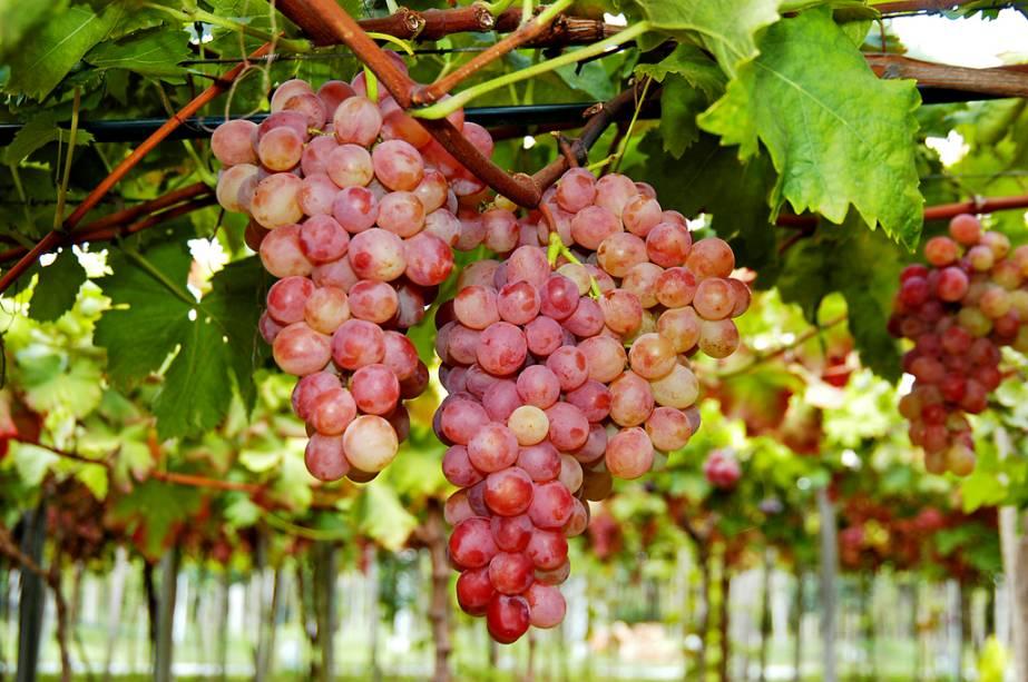 Caxias do Sul é conhecida por promover a maior festa da uva do país