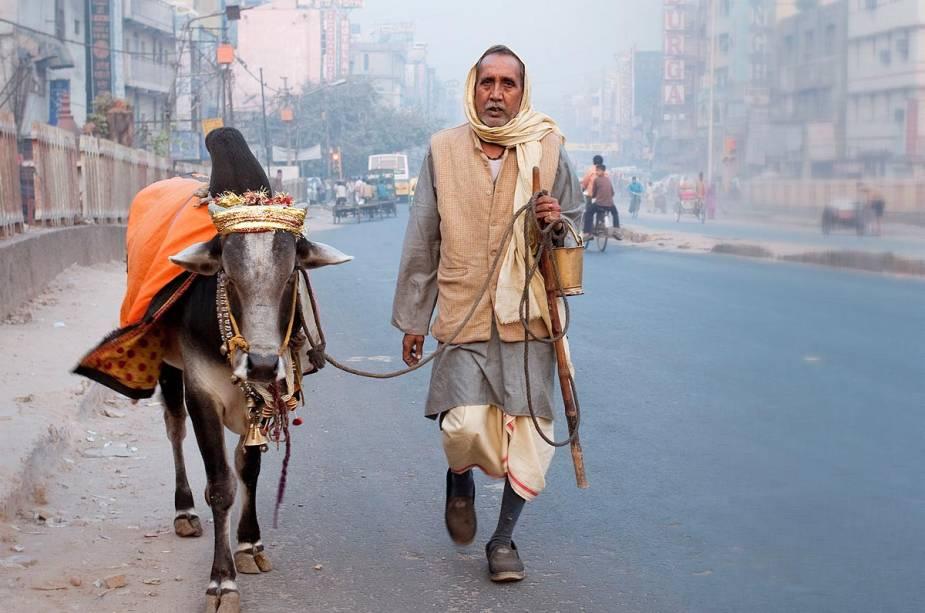 Boa vida para o gado: a vaca é muito sagrada e ai de quem se atrever a brincar com ela