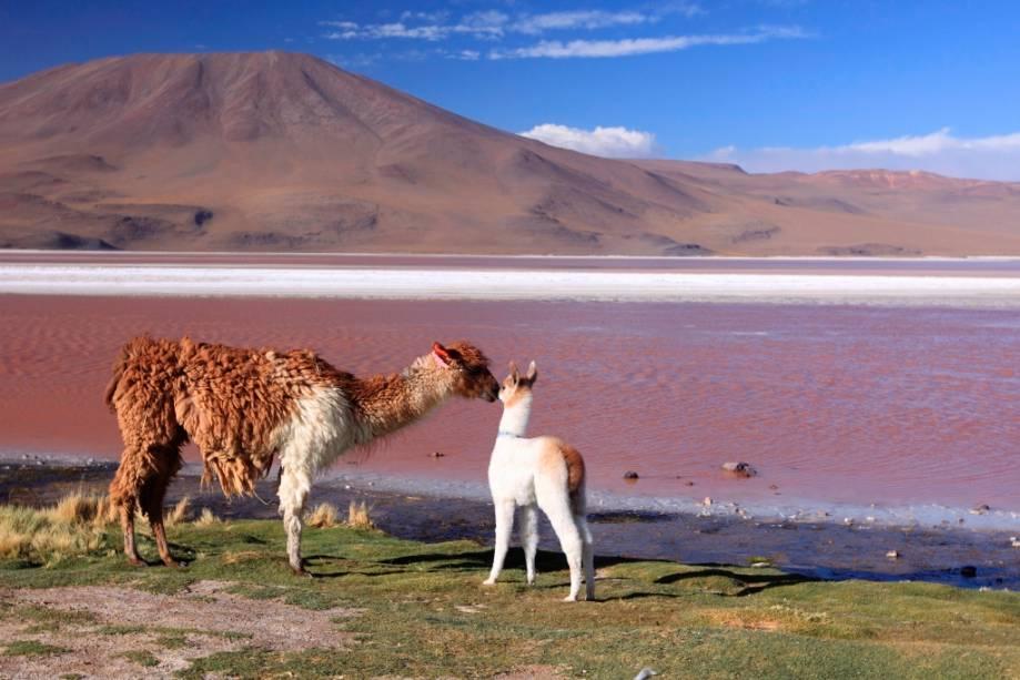 Diversos animais como flamingos, vicunhas, lhamas e pumas vivem na Laguna Colorada, no planalto dos Andes.