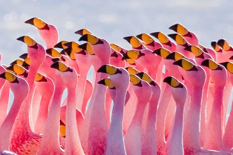 Os flamingos estão constantemente presentes nas lagoas do Altiplano boliviano.  Na foto aparece um bando na lagoa Hedionda (que leva esse nome porque exala um cheiro forte).
