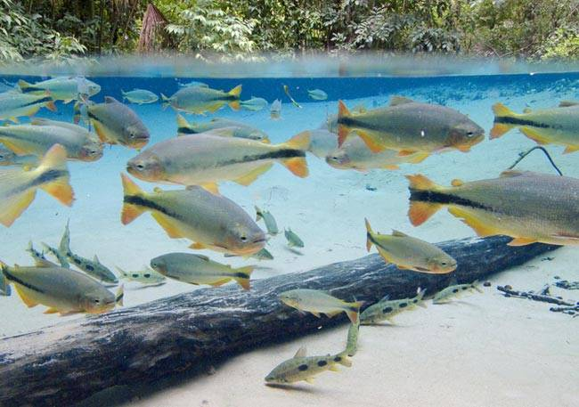 Piraputangas nas águas cristalinas da nascente do rio Salobra, no Aquário Encantado - como é chamada a região pelos moradores do bairro de Bom Jardim, em Mato Grosso, pertencente a Nobres.
