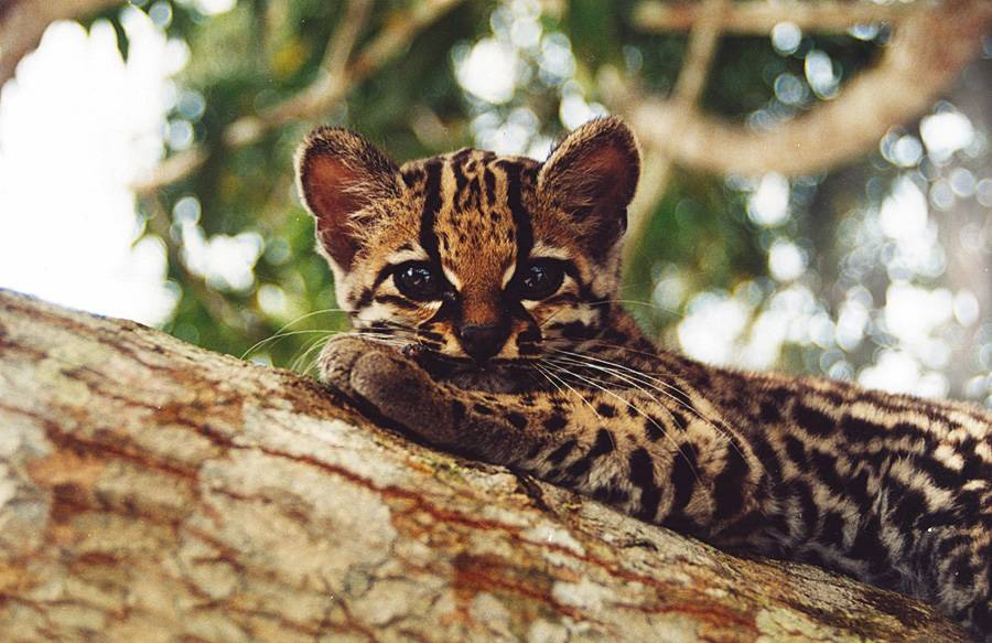 """Ocelot perto""""http://viajeaqui.abril.com.br/estabelecimentos/br-am-manaus-hospedagem-amazon-ecopark-lodge"""" rel =""""Amazon Ecopark Lodge"""" Objetivo =""""_vazio""""> Amazon Ecopark Lodge, em Manaus (AM), acomodação na selva especificada por""""http://viajeaqui.abril.com.br/materias/guias-guia-brasil-2012"""" rel =""""GUIA DO BRASIL 2012"""" Objetivo =""""_vazio""""> GUIA DO BRASIL 2012″ class=""""lazyload"""" data-pin-nopin=""""true""""/></div> <p class="""