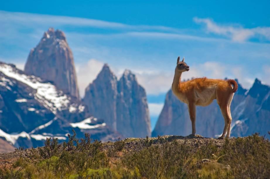 Guanacos são camelos onipresentes no interior da Patagônia.  Pais de alpacas e lhamas podem ser vistos em grandes rebanhos nas regiões áridas e montanhosas da Bolívia, Peru, Argentina e Chile