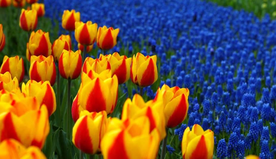 """No parque botânico de""""http://viajeaqui.abril.com.br/estabelecimentos/holanda-amsterda-atracao-keukenhof-em-lisse"""" rel =""""Keukenhof"""" Objetivo =""""_vazio""""> Keukenhof em Lisse, as tulipas são a atração principal.  Milhares dessas flores são exibidas em enormes jardins durante algumas semanas por ano"""" class=""""lazyload"""" data-pin-nopin=""""true""""/></div> <p class="""