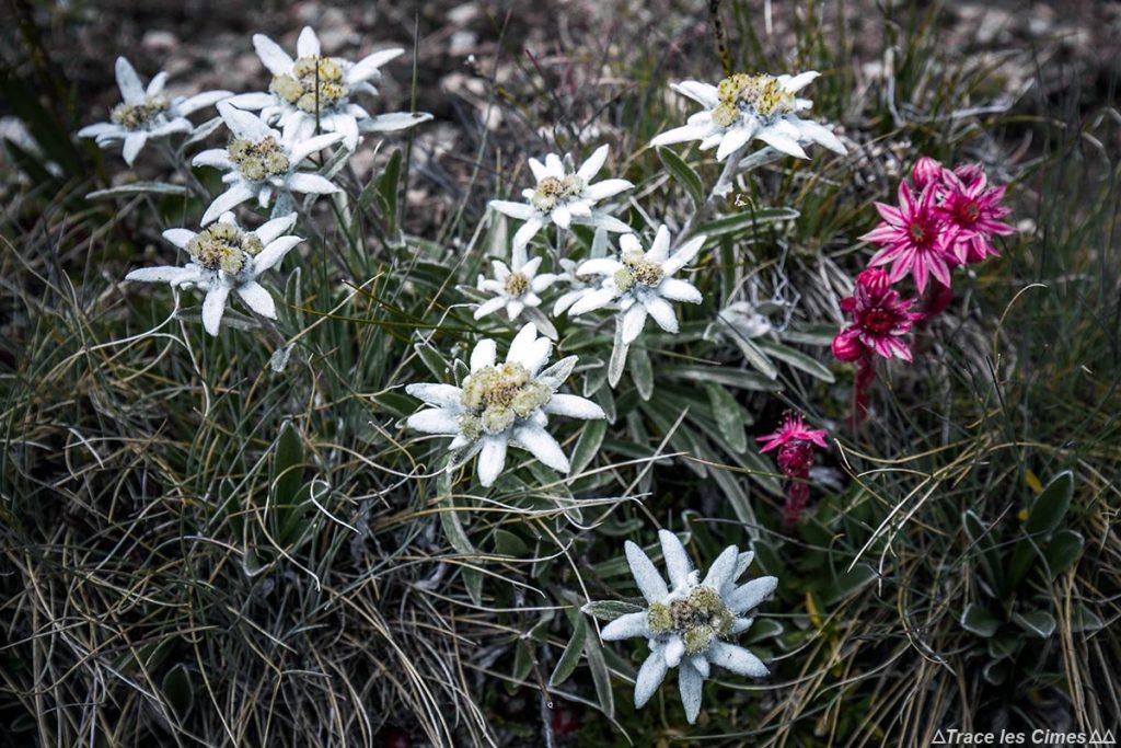 Edelweiss e Houseleek (flores da montanha) - Tour du Queyras GR 58, Hautes-Alpes