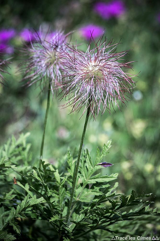 Flor da montanha: anêmona alpina (Pulsatilla alpina) - direção Abriès, Queyras, Hautes-Alpe
