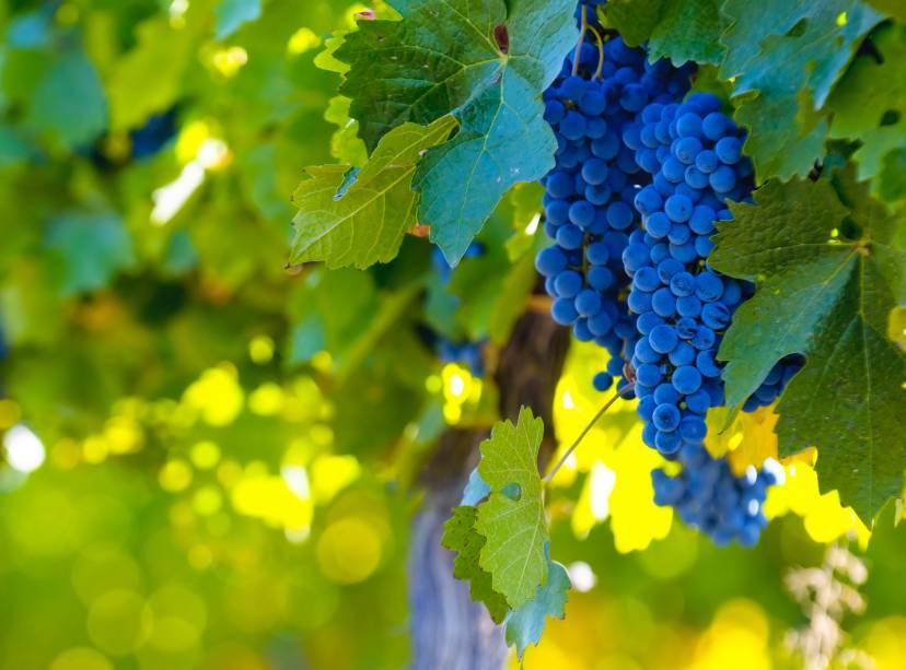 Uvas como Malbec, Cabernet Sauvignon, Tempranillo e Chardonnay têm apreciado os produtos Mendoza em todo o mundo