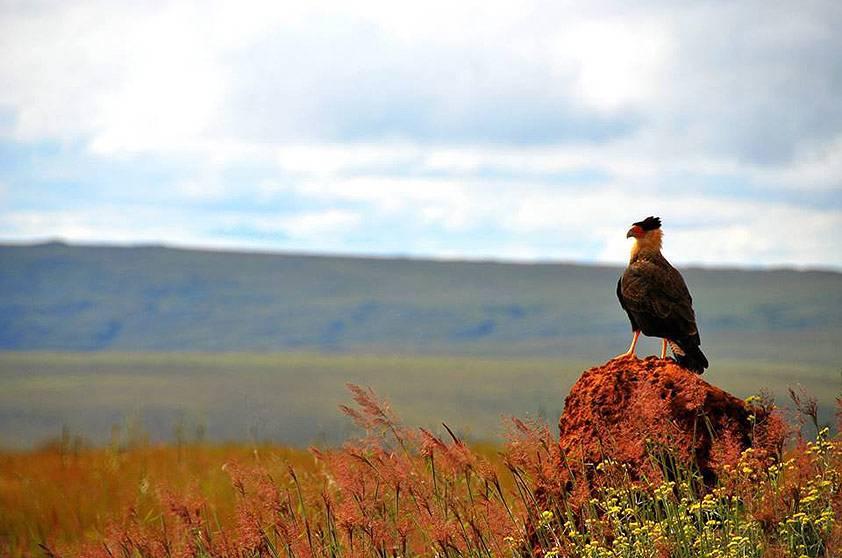 O pássaro pousa em um cupinzeiro na paisagem do parque da Serra da Canastra