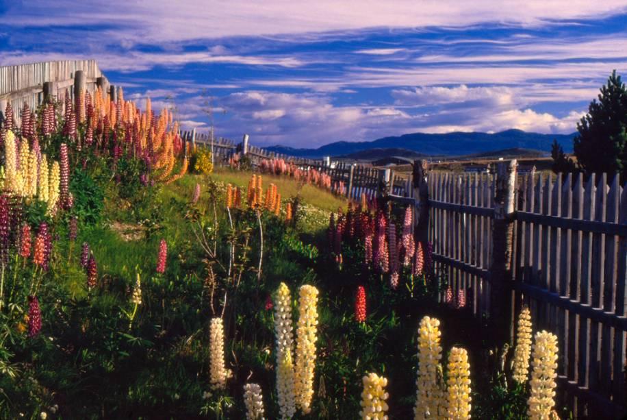 As flores de tremoço foram trazidas pelos colonizadores e se adaptaram bem à região da Patagônia.  Ela floresce de forma contínua e colorida na primavera e no verão